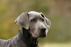 Blue Great Dane Puppy. royalty free stock image
