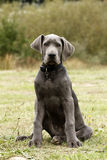 Blue Great Dane Puppy dog Stock Image