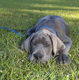 Blue Great Dane Royalty Free Stock Photography