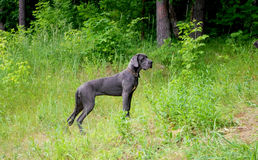 Blue great dane Royalty Free Stock Images