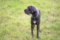Blue great dane Royalty Free Stock Photo