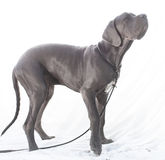 Blue Great Dane Stock Images