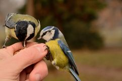 Blue and great tit Cyanistes caeruleus parus major Stock Photography