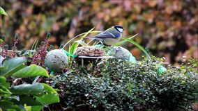 Blue and great tit and sparrow, winter, fodder, nuts  stock video footage