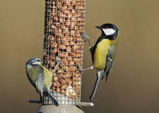 Blue & Great Tits feeding Royalty Free Stock Images