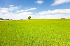 Blue and Green. Lone tree standing at the back of a field of corn/maize in the summer sun Royalty Free Stock Images
