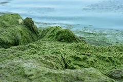 Blue-green algae blooms in the Gulf of Finland Royalty Free Stock Image