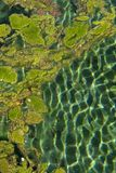 Vivid blue green algae (cyanobacteria) with shimmering light ripples Background. Blue green algae (cyanobacteria) sits on top of the clear royalty free stock photography
