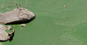 Blue-green Algae, spirulina sp., Food for Flamingoes, this Algae contains pigments that give them their natural pink colour,. Bogoria Lake in Kenya, Real Time stock footage