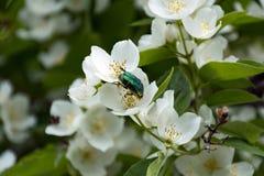 Blue-green beetle sitting on the flower Jasmine Stock Photo