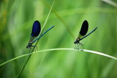 Blue Green and Black Dragonfly on Green Grass Stock Photos