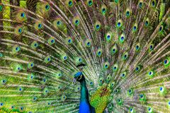 Blue Green and Brown Peacock stock photos