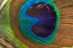 Blue Green Brown and Yellow Peacock Feather Royalty Free Stock Image