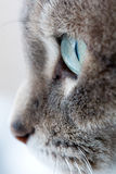 Blue-green cat`s eye. Close-up of a grey cat with blue-green eyes staring into space Stock Images