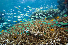 Blue-green Chromis Royalty Free Stock Photography