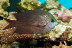 Blue Green Chromis Royalty Free Stock Image