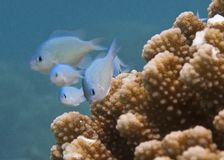 Blue-Green Chromis Royalty Free Stock Image