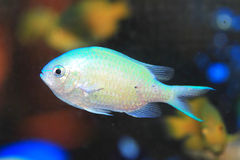 Blue green chromis Royalty Free Stock Photography