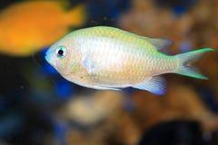 Blue green chromis Royalty Free Stock Photo