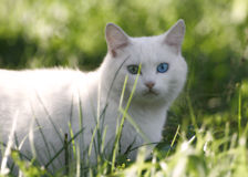 Blue and green eyes. White cat with varicoloured eyes stock photography