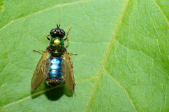 Blue green fly on leaf Stock Photography