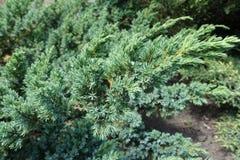 Blue green foliage of Juniperus squamata. In June Royalty Free Stock Photo
