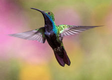 Blue and Green Humming Bird Royalty Free Stock Photography