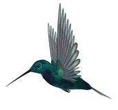 Blue Green Hummingbird Stock Image