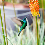 Blue green hummingbird flying over a tropical orange f Royalty Free Stock Image
