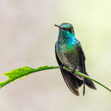 Blue and green hummingbird. A blue and green hummingbird sits on a perch in Brazil Stock Photos