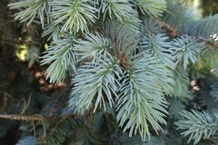 Blue-green leafage of Picea pungens tree Stock Images