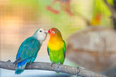 Blue and green Lovebird parrots sitting together on a tree branc Stock Image