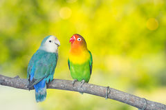 Blue and green Lovebird parrots sitting together on a tree branch.Sunshine light evening stock images