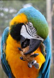 Blue and Green macaw. Eating a walnut Stock Photos