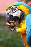 Blue and Green macaw. Eating a walnut Royalty Free Stock Images