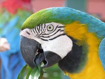 Blue and green macaw portrait royalty free stock photography