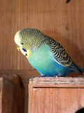 Blue green male adult budgie on a breeding box. A close-up view of a blue green male adult budgie on a breeding box in an aviary Stock Photos