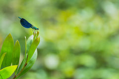 Blue and green metalic damselfly. In the nature Royalty Free Stock Photos