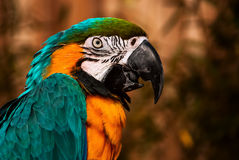 Blue green orange macaw talking parrot portrait closeup Royalty Free Stock Photo