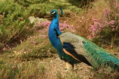 Blue Green and Orange Peacock Standing in the Ground during Daytime stock photography