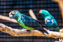 Blue and green parrot Royalty Free Stock Photography