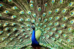Blue and Green Peacock royalty free stock image