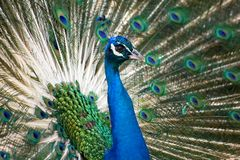 Blue and green peacock Royalty Free Stock Photography