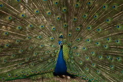 Blue and Green Peacock Stock Photo