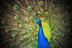 Blue and Green Peacock Stock Photos