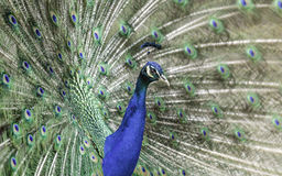 Blue Green Peacock Stock Photography