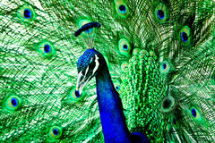 Blue and Green Peacock Stock Image