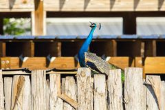 A Blue Green Peacock Singing stock images