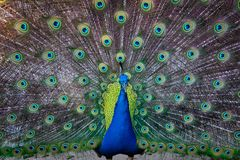 Blue and Green Peafowl royalty free stock photo
