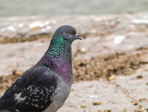 Blue-green pigeon Stock Photos